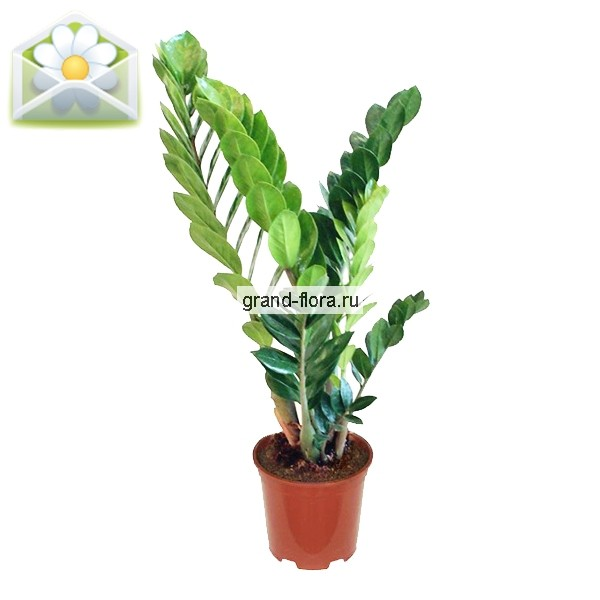 Горшечные растения Гранд Флора Замиокулкас фото