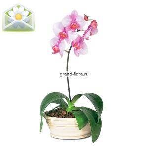 ОрхидеяОформление заказа на доставку Орхидеи на сайте возможно за 2 дня до даты доставки. Если Вам необходима срочная доставка - уточнить информацию Вы можете у менеджера по телефону 8 988 744 46 44 или 8 800 333 01 95....<br>