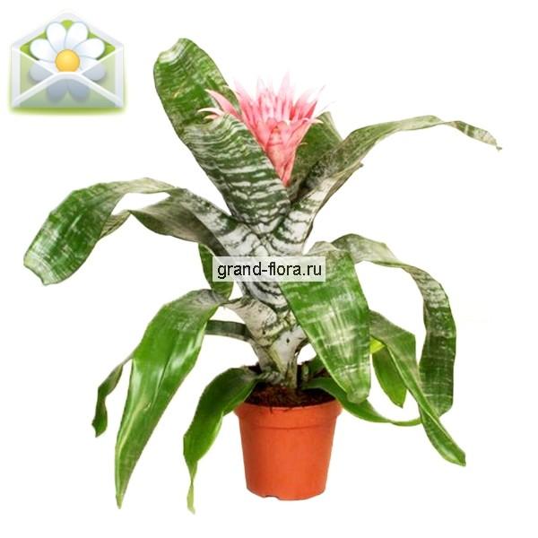 Горшечные растения Гранд Флора Эхмея фото