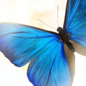 Бабочка Голубой МорфоГолубой Морфо (Morpho Peleides). Размах крыльев 13 - 16 см. Это, без преувеличения, одна из самых красивых бабочек в мире. Во время полёта её крылья переливаются металлическим блеском и цвет меняется в зависимости от угла падения света от нежно...<br>