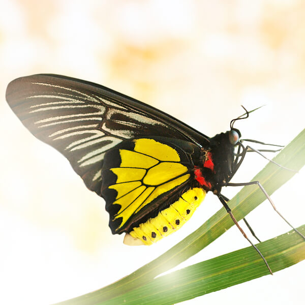 "Бабочка ""Золотая Птицекрылка"" от Grand-Flora.ru"