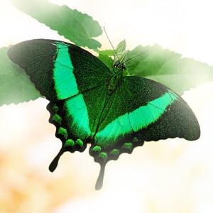 Бабочка Парусник ПалинурПарусник Палинур (Papilio Palinurus.) Дневная бабочка из семейства Парусники. Ареал обитания: Филиппины, Индия, Бирма, Борнео, Индонезия. Размах крыльев до 8 - 10 см....<br>