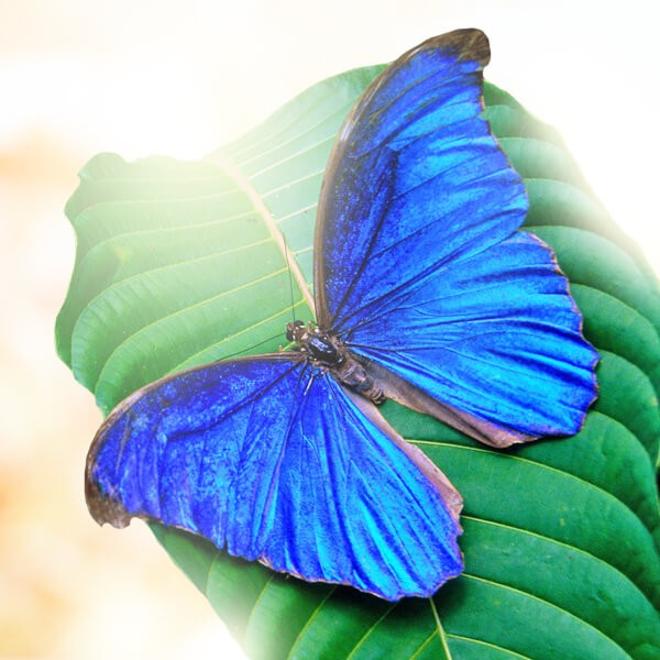 "Бабочка ""Голубой Морфо"""