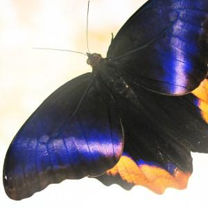 Бабочка Калиго АтрейКалиго Атреус. Это бабочка - одна из самых ярких представительниц семейства Брассолиды. Её размер от 14 до 18 см., а крылья просто поражают своей окраской. Верхняя сторона крыла во время полёта вспыхивает ярким сине-сиреневым светом. Секрет такой кр...<br>