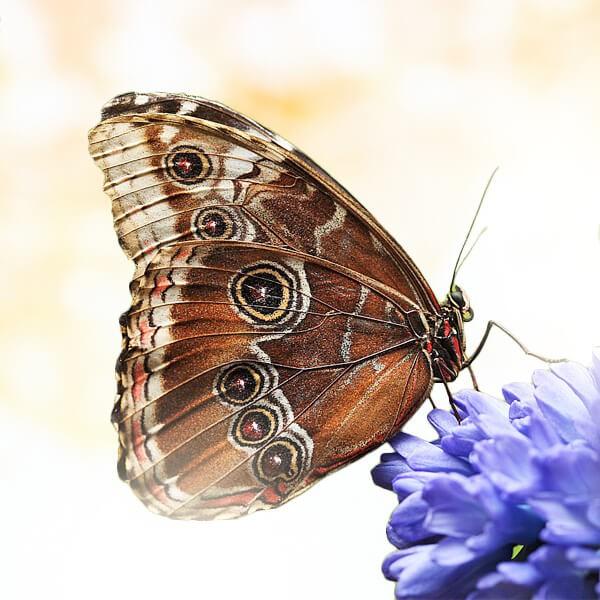 """Бабочка """"Калиго"""""""