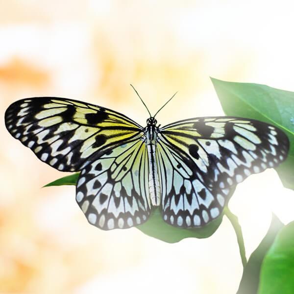 """Бабочка """"Идея Левконоя"""""""