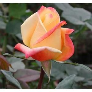 Роза Альмера голд(Almera gold)Роза Альмера голд представлен на сайте в ознакомительных целях. Если вы хотите заказать букет цветов из роз Альмера голд просим уточнить наличие данного цветка  у консультанта по тел.:<br> +7 (988) 744-46-44 или по электронной ...<br>