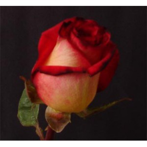 роза-african-down