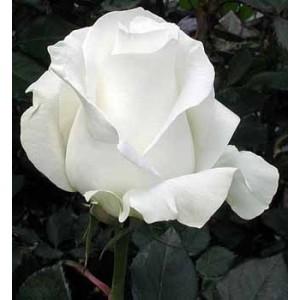 Роза Акито(Akito)Роза Акито представлен на сайте доставки цветов grand-flora.ru в ознакомительных целях. Если вы хотите заказать букет цветов из роз Акито просим уточнить наличие данного цветка  у консультанта по тел.:<br> +7 (988) 744-46-44 ил...<br>