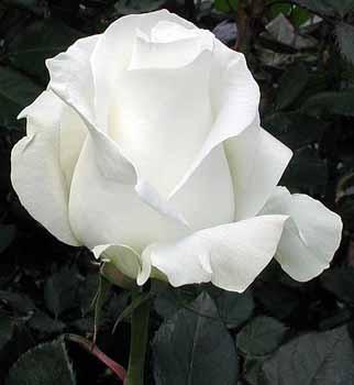 GF-rose3