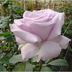 """Роза """"Аллюр""""(Allur) от Grand-Flora.ru"""