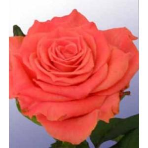 Роза Амстердам(Amsterdam)Роза Амстердам представлен на сайте доставки цветов grand-flora.ru в ознакомительных целях. Если вы хотите заказать букет цветов из роз Амстердам просим уточнить наличие данного цветка  у консультанта по тел.:<br> +7 (988) 744-...<br>