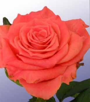 GF-rose6