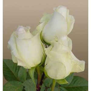 Роза Анастасия(Anastacia)Роза Анастасия представлен на сайте доставки цветов grand-flora.ru в ознакомительных целях. Если вы хотите заказать букет цветов из роз Анастасия просим уточнить наличие данного цветка  у консультанта по тел.:<br> +7 (988) 744-...<br>