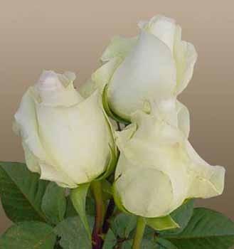 GF-rose7