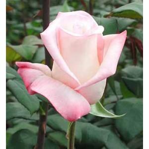 Роза Анна(Anna)Роза Анна представлен на сайте доставки цветов grand-flora.ru в ознакомительных целях. Если вы хотите заказать букет цветов из роз Анна просим уточнить наличие данного цветка  у консультанта по тел.:<br> +7 (988) 744-46-44 или ...<br>