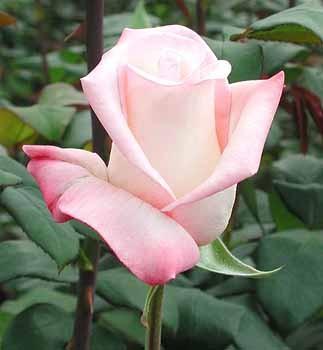 GF-rose8