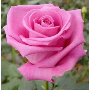 Роза Аква(Aqua)Роза Аква представлен на сайте доставки цветов grand-flora.ru в ознакомительных целях. Если вы хотите заказать букет цветов из роз Аква просим уточнить наличие данного цветка  у консультанта по тел.:<br> +7 (988) 744-46-44 или ...<br>