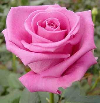 GF-rose10