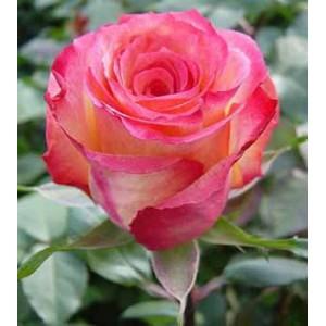 "Роза ""Акварель""(Aquarel) от Grand-Flora.ru"