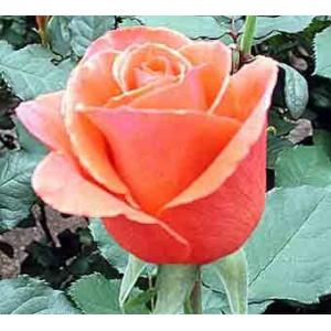 """Роза """"Арабия""""(Arabia) от Grand-Flora.ru"""