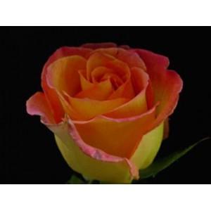 Роза Аттракцион(Atraction)Роза Аттракцион представлен на сайте доставки цветов grand-flora.ru в ознакомительных целях. Если вы хотите заказать букет цветов из роз Аттракцион просим уточнить наличие данного цветка  у консультанта по тел.:<br> +7 (988) 74...<br>