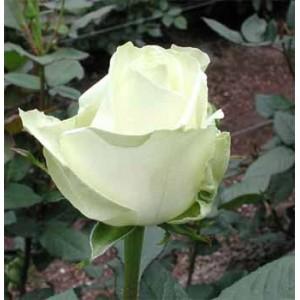 Роза Аваланч(Avalanche)Роза Аваланч представлен на сайте доставки цветов grand-flora.ru в ознакомительных целях. Если вы хотите заказать букет цветов из роз Аваланч просим уточнить наличие данного цветка  у консультанта по тел.:<br> +7 (988) 744-46-4...<br>
