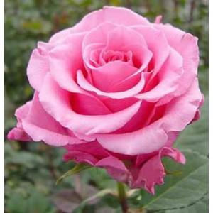 "Роза ""Балет""(Ballet) от Grand-Flora.ru"