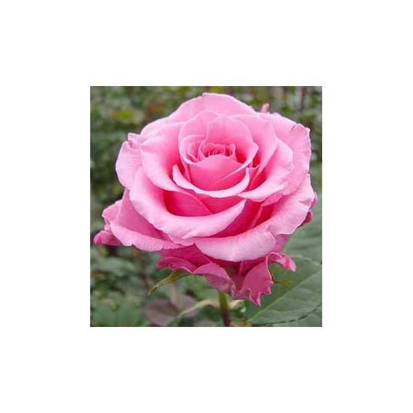 http://grand-flora.ru/409-441-thickbox/roza-balet-ballet-.jpg