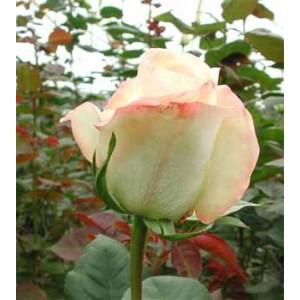 Роза BelleperleРоза Belleperle представлен на сайте доставки цветов grand-flora.ru в ознакомительных целях. Если вы хотите заказать букет цветов из роз Belleperle просим уточнить наличие данного цветка  у консультанта по тел.:<br> +7 (988) 74...<br>