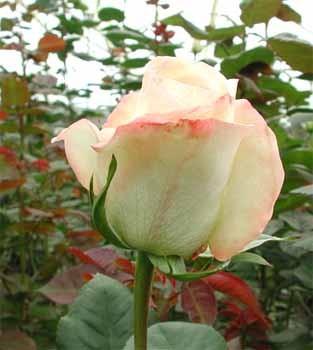 GF-rose17