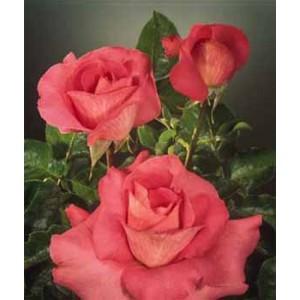 Роза Бингала(Bengala)Роза Бингала представлен на сайте доставки цветов grand-flora.ru в ознакомительных целях. Если вы хотите заказать букет цветов из роз Бингала просим уточнить наличие данного цветка  у консультанта по тел.:<br> +7 (988) 744-46-4...<br>