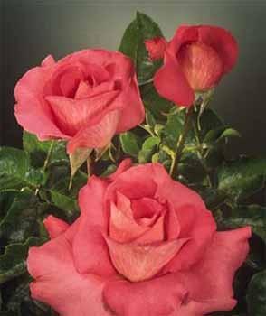 GF-rose18