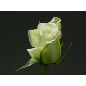 Роза Бьянка(Bianca)Роза Бьянка представлен на сайте доставки цветов grand-flora.ru в ознакомительных целях. Если вы хотите заказать букет цветов из роз Бьянка просим уточнить наличие данного цветка  у консультанта по тел.:<br> +7 (988) 744-46-44 ...<br>