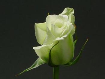 GF-rose19
