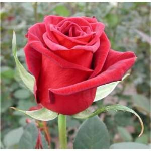 Роза Black bacaraРоза Black bacara представлен на сайте доставки цветов grand-flora.ru в ознакомительных целях. Если вы хотите заказать букет цветов из роз Black bacara просим уточнить наличие данного цветка  у консультанта по тел.:<br> +7 (988...<br>