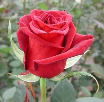 GF-rose20