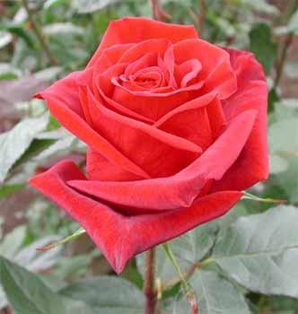 GF-rose21