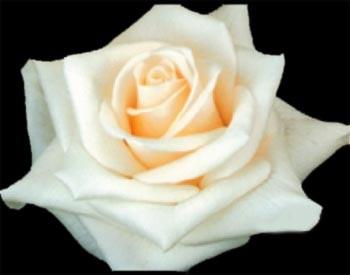 GF-rose22