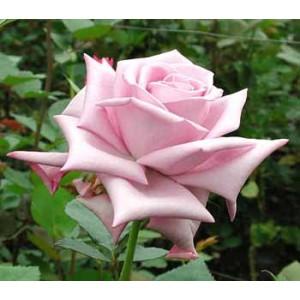 Роза Голубая птица(Blue bird)Роза Голубая птица представлен на сайте доставки цветов grand-flora.ru в ознакомительных целях. Если вы хотите заказать букет цветов из роз Голубая птица просим уточнить наличие данного цветка  у консультанта по тел.:<br> +7 (9...<br>