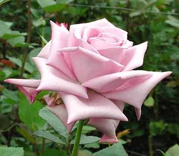 GF-rose23