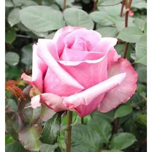 Роза Blue curiosaРоза Blue curiosa представлен на сайте доставки цветов grand-flora.ru в ознакомительных целях. Если вы хотите заказать букет цветов из роз Blue curiosa просим уточнить наличие данного цветка  у консультанта по тел.:<br> +7 (988...<br>