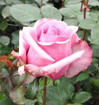 GF-rose24