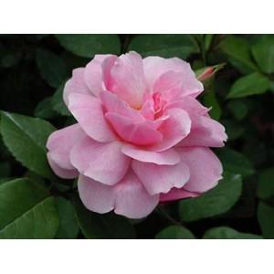 Роза BlushРоза Blush представлен на сайте доставки цветов grand-flora.ru в ознакомительных целях. Если вы хотите заказать букет цветов из роз Blush просим уточнить наличие данного цветка  у консультанта по тел.:<br> +7 (988) 744-46-44 ил...<br>