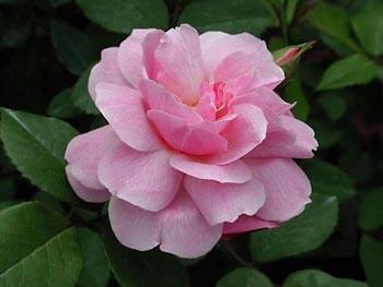 GF-rose25