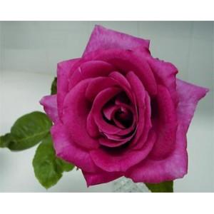 Роза BreathlessРоза Breathless представлен на сайте доставки цветов grand-flora.ru в ознакомительных целях. Если вы хотите заказать букет цветов из роз Breathless просим уточнить наличие данного цветка  у консультанта по тел.:<br> +7 (988) 74...<br>