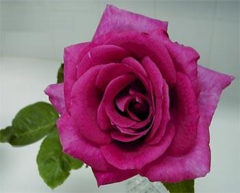 GF-rose26
