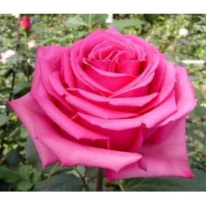 Роза BugattiРоза Bugatti представлен на сайте доставки цветов grand-flora.ru в ознакомительных целях. Если вы хотите заказать букет цветов из роз Bugatti просим уточнить наличие данного цветка  у консультанта по тел.:<br> +7 (988) 744-46-4...<br>