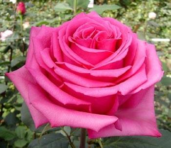 GF-rose27