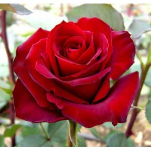 Роза CaballeroРоза Caballero представлен на сайте доставки цветов grand-flora.ru в ознакомительных целях. Если вы хотите заказать букет цветов из роз Caballero просим уточнить наличие данного цветка  у консультанта по тел.:<br> +7 (988) 744-...<br>